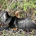 Cormorant Wingspan by Ian Mcadie