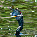 Cormorant With Catch by Stephen Whalen