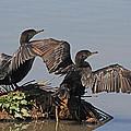 Cormorants Sunbathing by Tom Janca