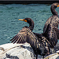 Cormorants by Tom Gort