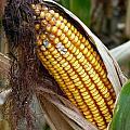 Corn Cob Dry by Jeff Lowe