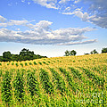 Corn Field by Elena Elisseeva
