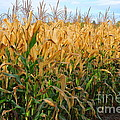 Corn Harvest by Terri Gostola