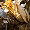 Corn In Husk by Crystal Crist