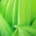 Corn Lily Leaf Detail Yosemite Np California by Dave Welling
