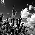 Corn Maze 01 Bw by Edward Paul