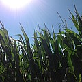 Corn Maze 02 by Edward Paul