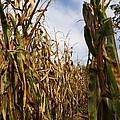 Corn Maze by Linda Shafer