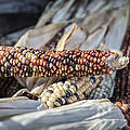 Corn Of Many Colors by Caitlyn  Grasso