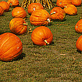 Corn Plants With Pumpkins In A Field by Panoramic Images