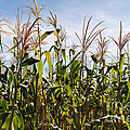 Corn Production by Carlos Caetano