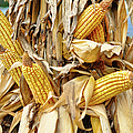 Corn Shock - Sign Of Autumn by Paulette B Wright