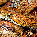 Corn Snake by Millard H Sharp