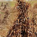 Corn Stalk Bales by Marcia Colelli