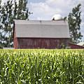 Corn With A Red Barn  by John McGraw