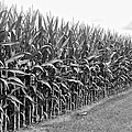 Cornfield Black And White by Frozen in Time Fine Art Photography