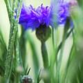 Cornflower (centaurea Cyanus) by Gustoimages/science Photo Library