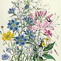 Cornflower by Jane Loudon