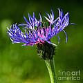 Cornflower by Susie Peek