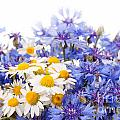 Cornflower And Chamomile Bunch Blooms  by Arletta Cwalina