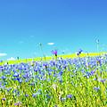 Cornflowers In A Field by Wladimir Bulgar