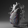 Coronary Vessels by Science Picture Co