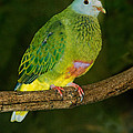 Coronated Fruit Dove by Anthony Mercieca