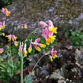 Corydalis In Garden by MTBobbins Photography