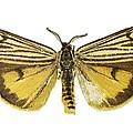 Coscinia Striata Moth by Science Photo Library