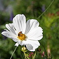Cosmea And Bee by Christiane Schulze Art And Photography