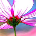 Cosmos Abstract In Ohara by Karen Jensen