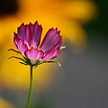Cosmos And Suzies by Kathy Clark