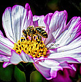Cosmos Flower And Bee by George Davidson