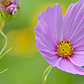 Cosmos Flower In Full Bloom And Bud by A Gurmankin