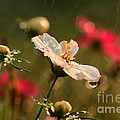 Cosmos In The Rain by Darren Fisher
