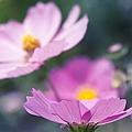 Cosmos Sensation - Fiori Rosa by Sharon Mau