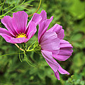 Cosmos Tickles Me Pink - Cosmos Caudatus by Mother Nature