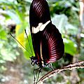Costa Rican False Postman Butterfly by Christopher Krieger