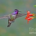 Costas Hummingbird At Flower by Anthony Mercieca