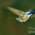 Costa's Hummingbird Feeding by Robert Bales