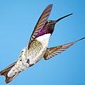 Costa's Hummingbird In Flight by Ron D Johnson