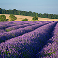 Cotswolds Lavender by Brian Jannsen