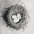 Cottage Bird's Nest In Black And White by Lisa Russo