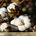 Cotton Bolls Ready For Harvest by Beverly Guilliams