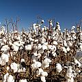 Cotton Fields by Tim Hester
