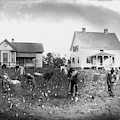 Cotton Picking, 1902 by Granger