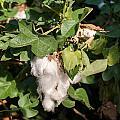 Cotton Plant by Frank Gaertner