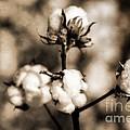 Cotton by Scott Pellegrin