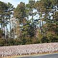 Cotton Season by Charlene Harrelson