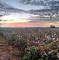 Cotton Sunrise  by JC Findley